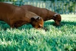 Why Do Dogs Eat Grass? What You Need to Know!
