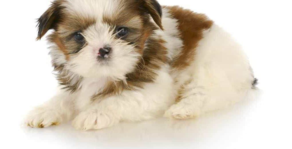 Can Puppies Leave Mother At 6 Weeks Ultimate Guide Puppy Faqs