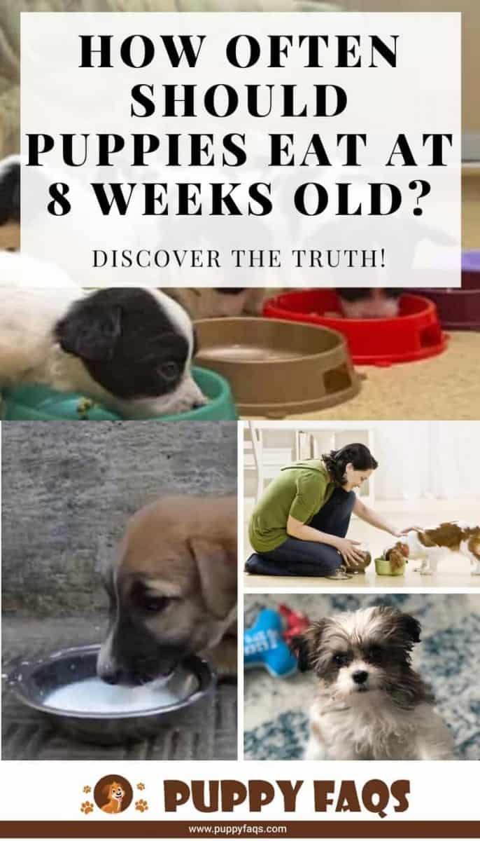 how often should puppies eat at 8 weeks old?