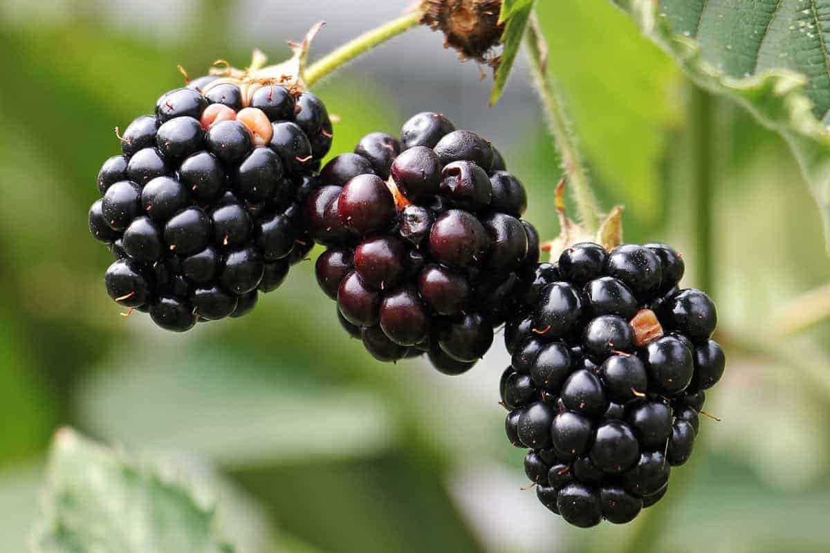 are blackberries good for dogs
