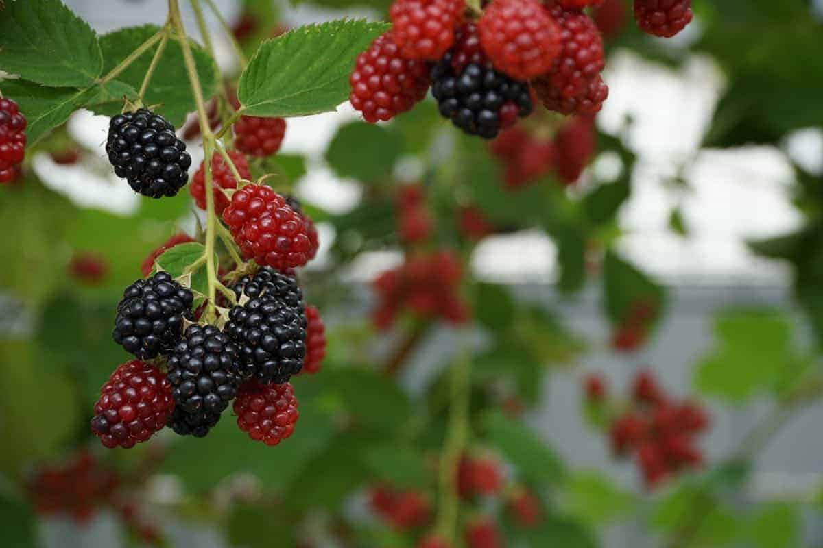 are blackberries safe for dogs