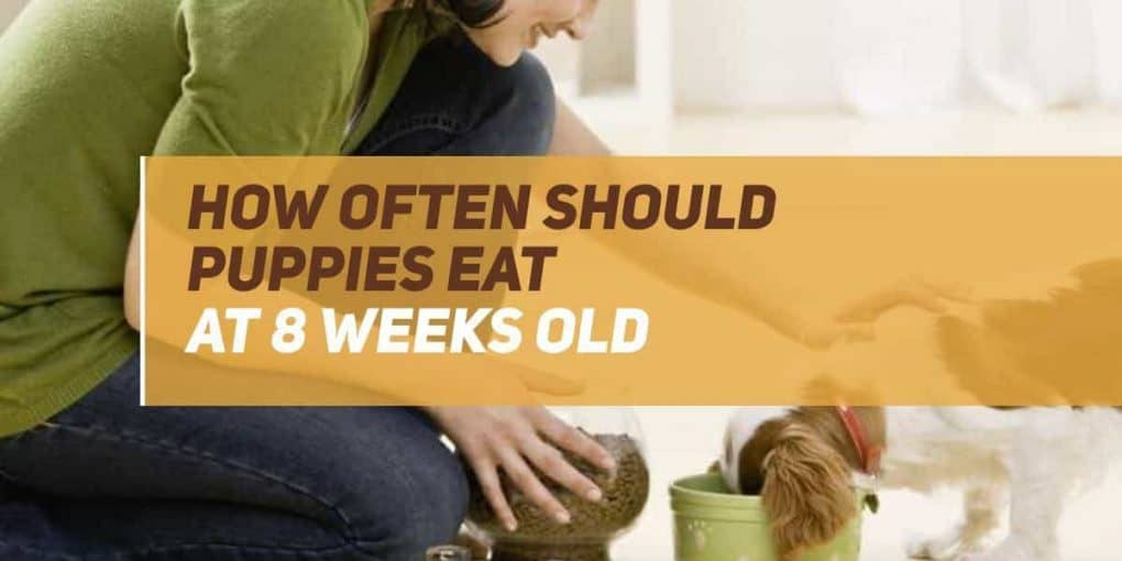 how often should puppies eat at 8 weeks old