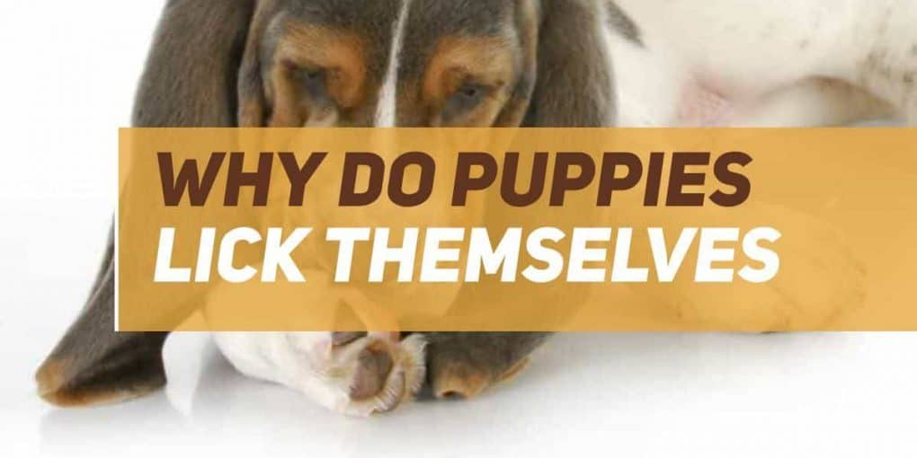why do puppies lick themselves