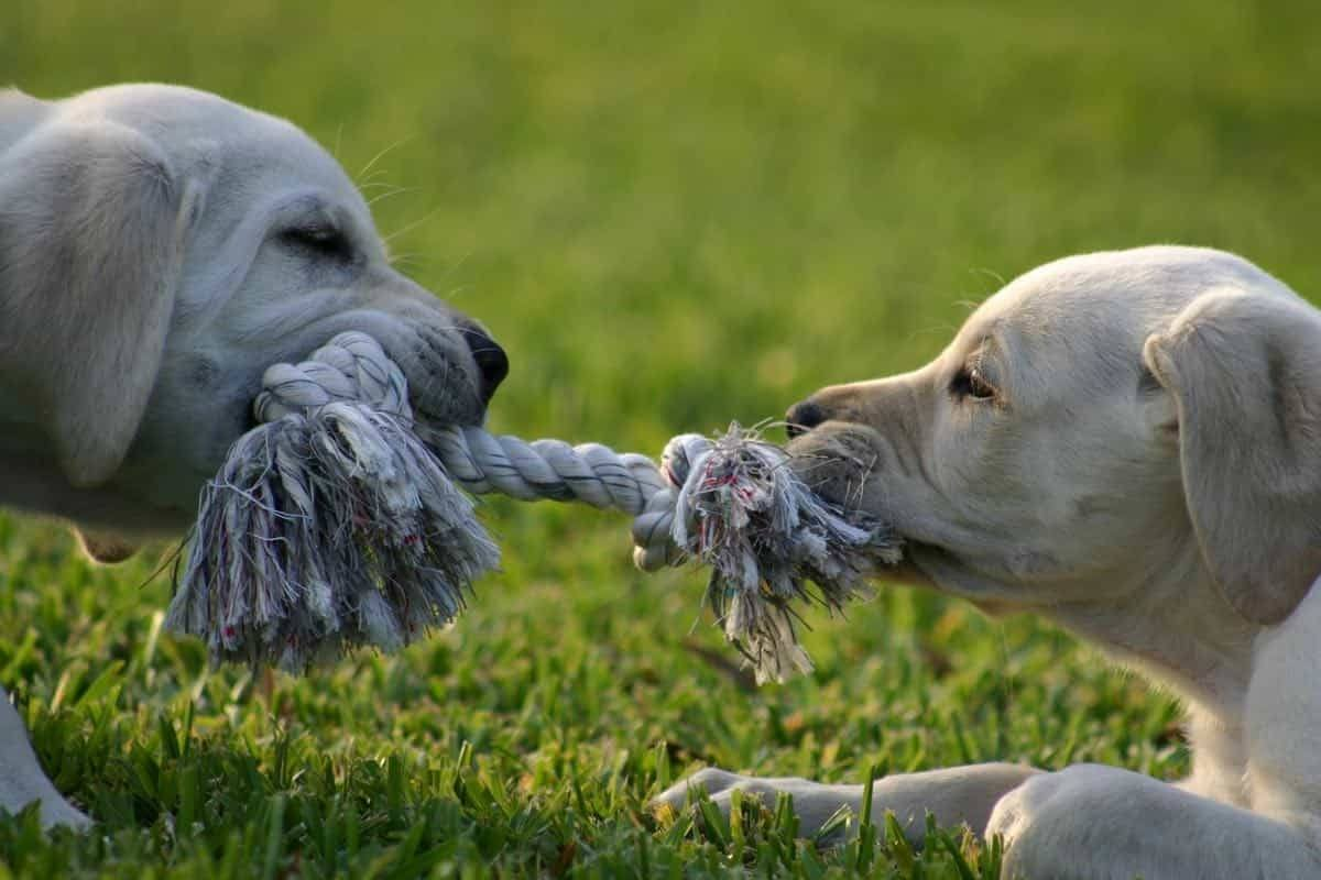 lab puppies play tug a war