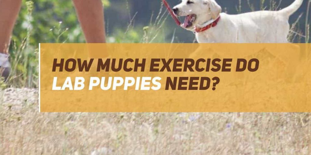 how much exercise do labrador puppies need