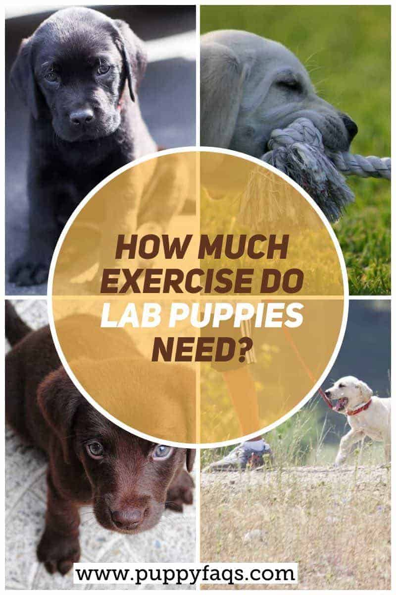 how much exercise does lab puppies need