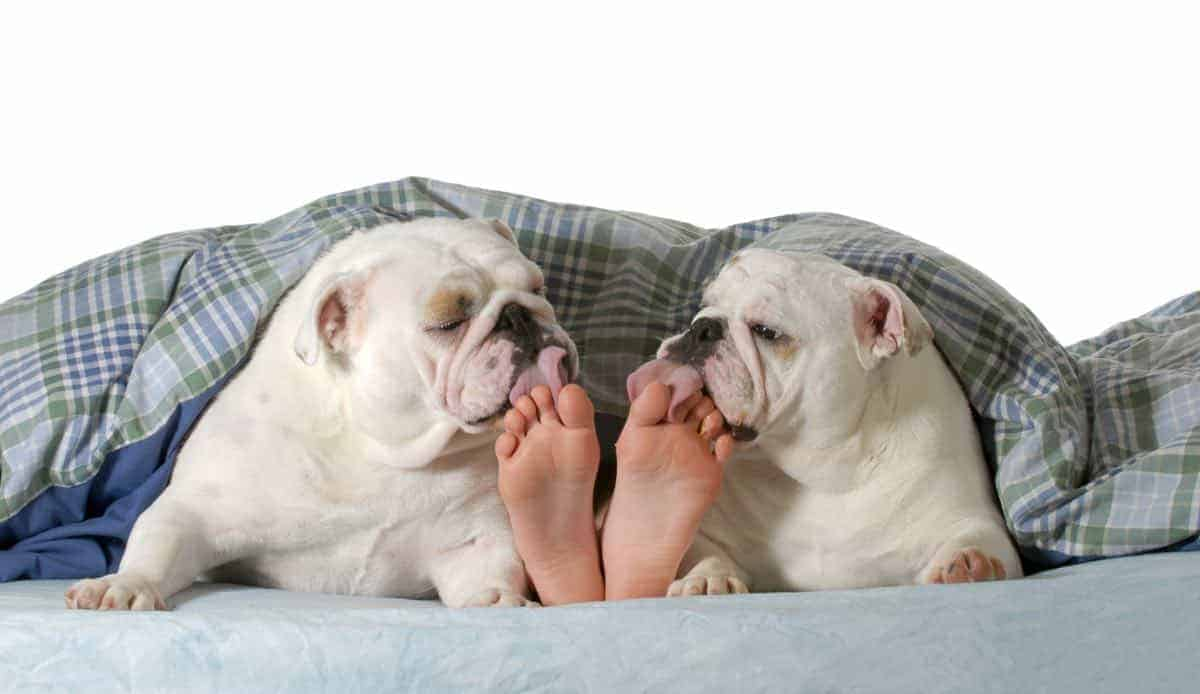 dogs licking feet