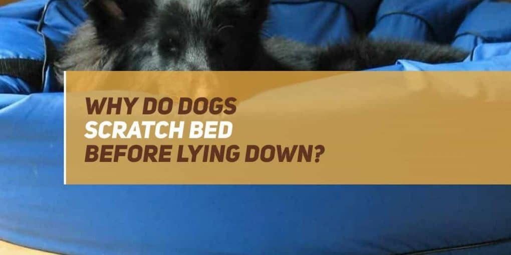 why do dogs scratch bed before lying down