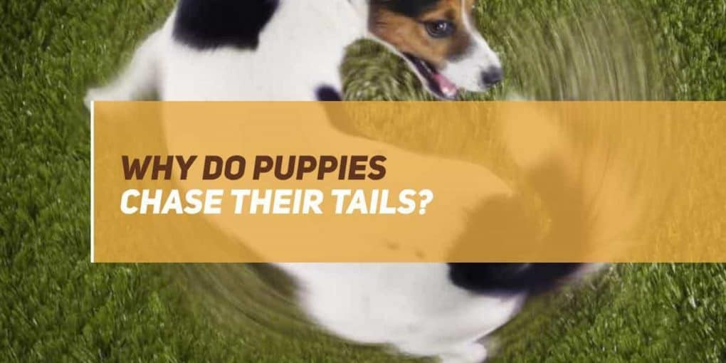 why do puppies chase their tails