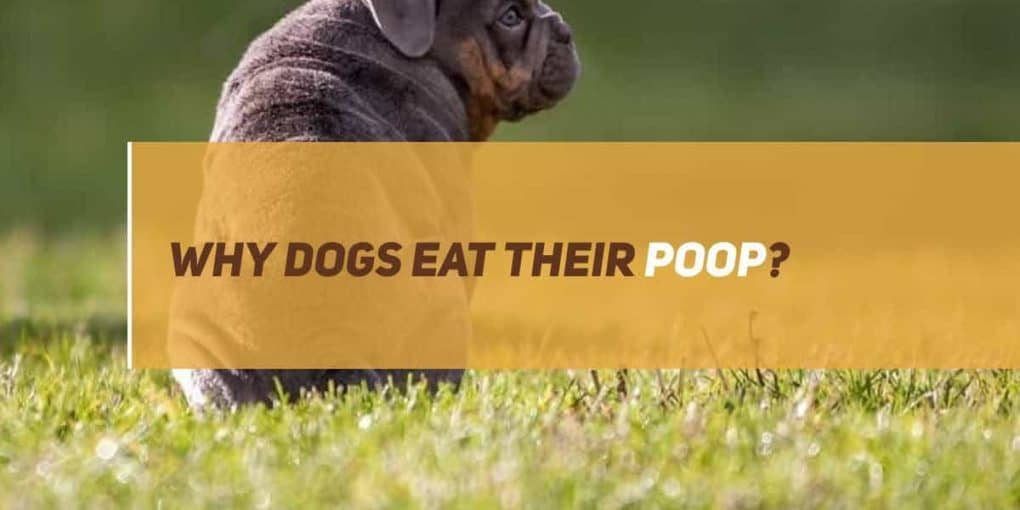 why dogs eat their poop