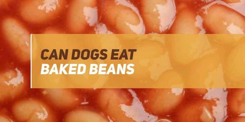 can dogs eat baked beans